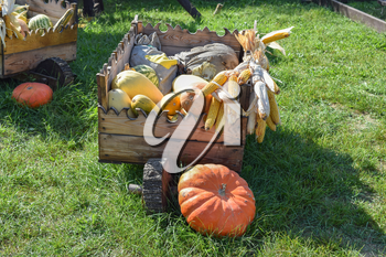 Ripe pumpkins in a cart. Transportation of pumpkins and squash in the old days.