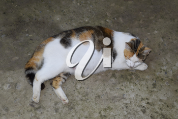 Pregnant cat resting. Calico cat with a big belly lying on the concrete.