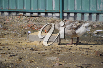 The gray goose is domestic. A domestic goose is food