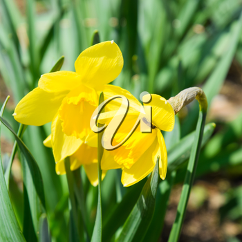 Flowers daffodil yellow. Spring flowering bulb plants in the flowerbed.