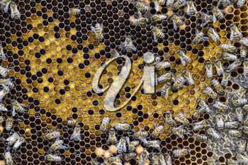 Honey bees on the home apiary. The technology breeding of honey bees.
