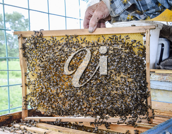 An elderly beekeeper is holding bees' honeycomb with bees in his hand. Honey bee. apiary. The technology breeding of honey bees.
