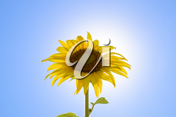 A blossoming sunflower against a blue sky and sun