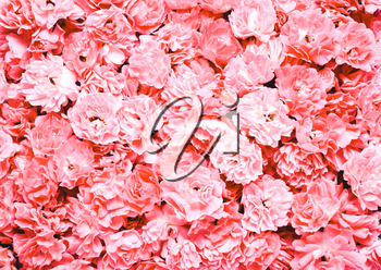 Background with pink, coral flowers. Natural holiday lettering letterhead
