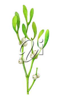 Mistletoe branch isolated on white background. Hand drawn watercolor illustration. New year and Christmas Holidays design.