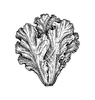 Lettuce. Ink sketch isolated on white background. Hand drawn vector illustration. Retro style.