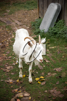 Adult white goat village with large horns.