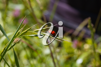 Ladybug running along on blade of green grass. Beautiful nature