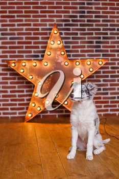 Australian Shepherd (Aussie ), 3 months old, sitting against Decorative wooden star with old lamps on a background of gray brick wall. Modern grungy interior