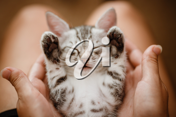 little cute home gray striped kitten in hand. Cute little kitten with owner at home, closeup. Very cute and funny emotions kitty. Cats rest after eating.