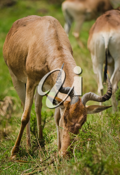 Antelope on the African savannah. Natural environment antelope habitat. Hoofed horned animal.