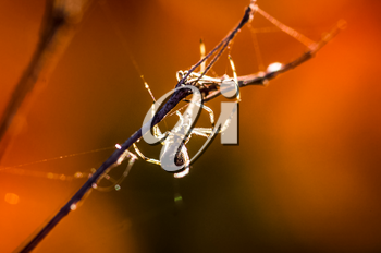 Macro photo of wildlife Spider web, trapping spider web. Macro photo of a spider web.