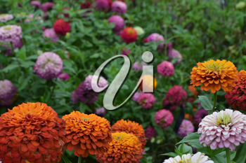 Flower major. Zinnia elegans. Many different colors of flowers - orange, pink, red. Garden. Floriculture. Large flowerbed. Horizontal photo