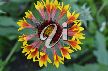 Gaillardia. G. hybrida Fanfare. Two bees on a flower. Summer flower yellow. Annual plant. Sunny summer. Horizontal photo. Blurring background. Close-up