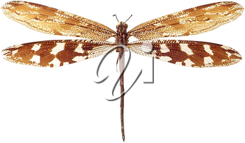 Royalty Free Photo of a Dragonfly
