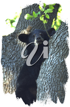 Royalty Free Photo of a Black Bear in a Tree