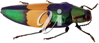 Royalty Free Photo of a Beetle