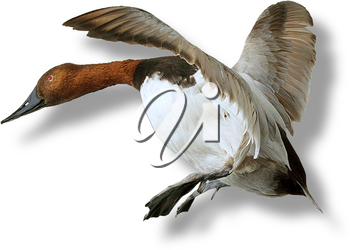 Royalty Free Photo of a Goose Attempting to Land