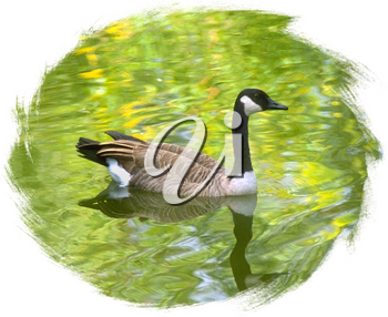 Royalty Free Photo of a Canada Goose Floating in the Water