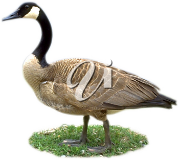 Royalty Free Photo of a Canadian Goose on Grass