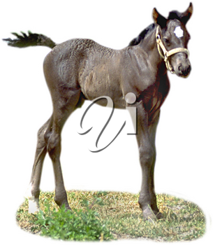 Royalty Free Photo of a Colt