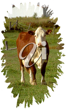 Royalty Free Photo of a Holstein Cow
