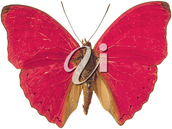 Royalty Free Photo of a Blood Red Cymothoe Butterfly
