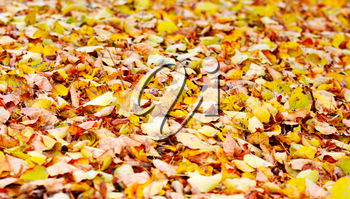 Abstract autumn seasonal background with orange leaves.