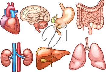 Human organs in cartoon style. Biology illustrations human, organ stomach and heart, liver and brain vector