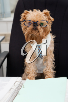Dog accountant sitting in an office chair, on the table of documents.