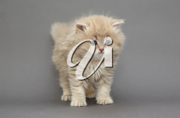 Little British kitten beige color on a gray background