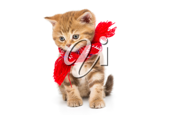 Little kitten British marble in a red scarf, isolated on white.