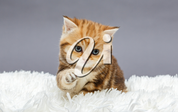 Little red kitten of British marble breed on a fur blanket
