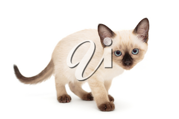 Small Siamese kitten stands isolated on white background
