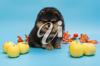 Black Pomeranian puppy with autumn leaves and apples on a blue background