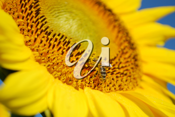 Summer scene with bee on a sunflower