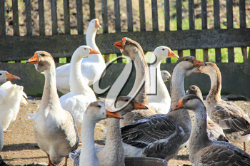 Flock of geese on the background of the fence