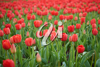 Field of beautiful red tulips in spring time