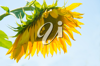Yellow sunflower with green leaves on blue sky background