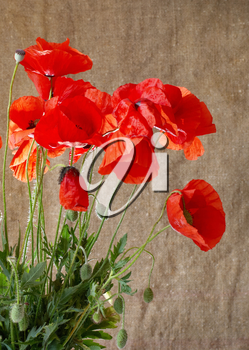 Poppies in the vase against dark grunge background