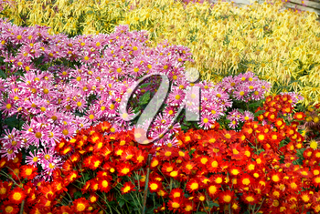 Field of different colors chrysanthemums.