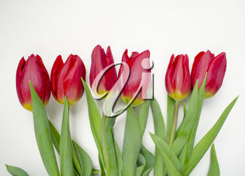 Beautiful blossoming tulip flower. Floral design. Nature background. Spring background with beautiful fresh flowers.