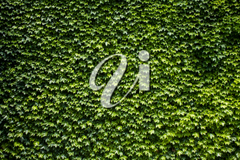 Green leaves background. Clipped bush. Natural texture. Foliage vegetation on ground texture. Vibrant colors. Seamless backdrop template. Spring or Summer