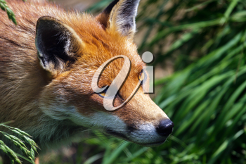 Close-up of a Red Fox (Vulpes vulpes)