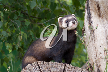 Polecat Coloured Ferret