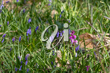 Early Purple Orchid (Orchis mascula) flowering among the bluebells near East Grinstead