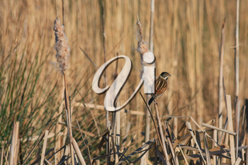 Reed Bunting (Emberiza schoeniclus) clinging to a Bulrush seed head