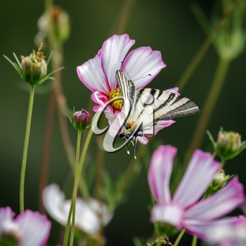 Swallowtail butterfly feeding on a Cosmos flower at Bergamo in Italy