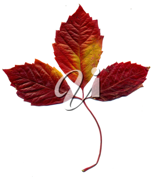 Red autumn virginia creeper leaves on white background.