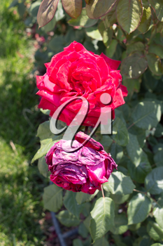 Two blooming beautiful colorful roses in the garden background